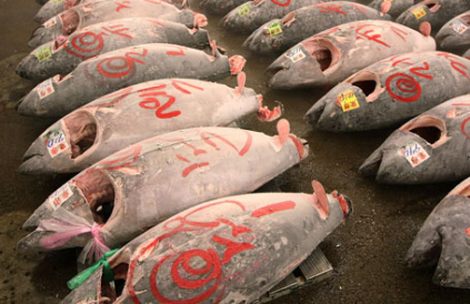ALL Bluefin Tuna Caught In California Are Radioactive